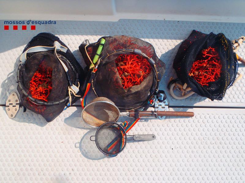 Corall vermell pescat furtivament al Cap de Creus. (Foto: Mossos d'Esquadra).