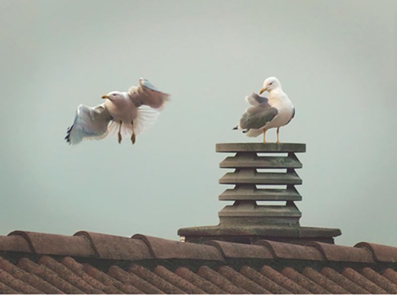 Es vol limitar la proliferació de nius que aquestes aus construeixen en terrasses i teulats. (Foto: Ajuntament de Palamós).