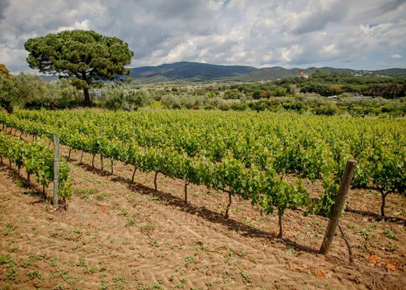 Vinyes del Celler Mas Eugeni, a Calonge.