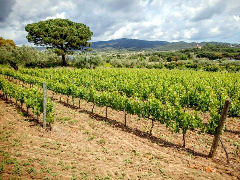 Imatge d'una vinya de Calonge. (Foto: Mas Eugeni).
