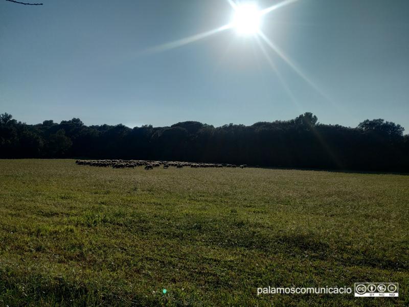 Ovelles pasturant a la zona de Castell, una tarda assolellada de la setmana passada.