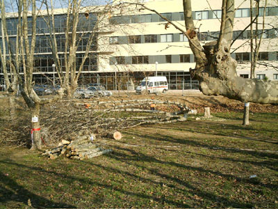 Els primers arbres tallats
