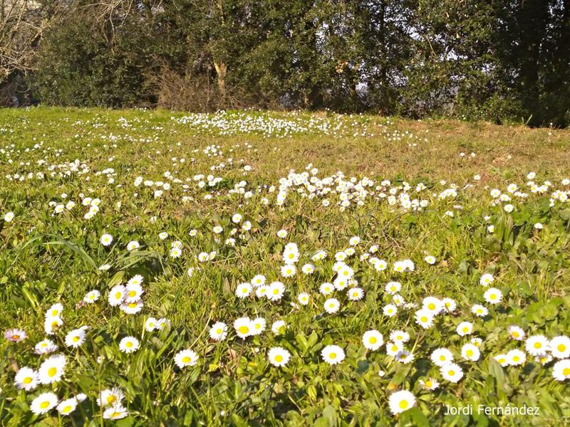 Margaridoies florides en un prat de Romanyà de la Selva el passat divendres. (Foto: J. Fernández tempspalamos.blogsport.com).