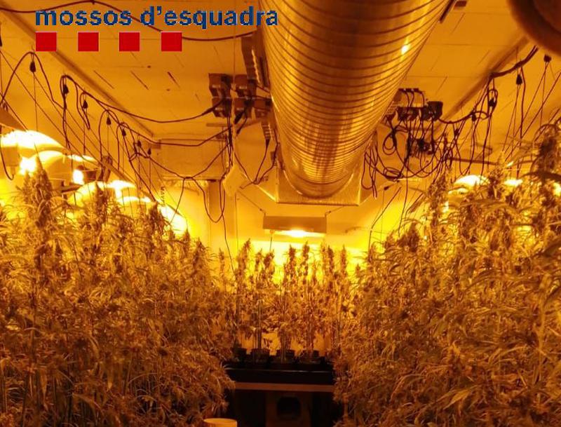 Els Mossos van decomisar més de 1.700 plantes de marihuana en un operatiu a Palamós el passat mes d'octubre. (Foto: Mossos d'Esquadra).